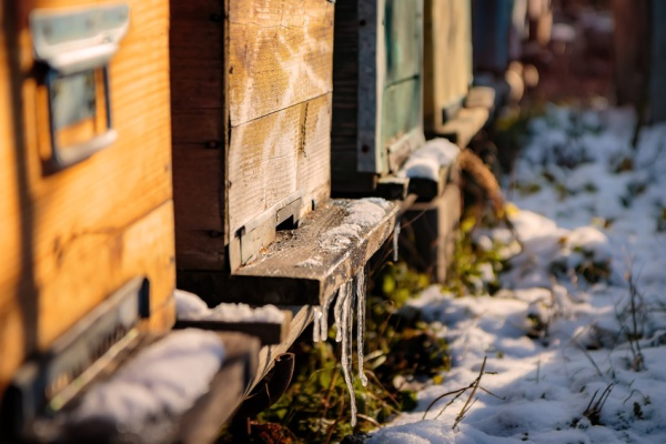 Bee hives with icicles on the landing board, with snow on the gr